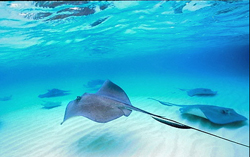 STINGRAY_IN_THE_SEAweb.jpg